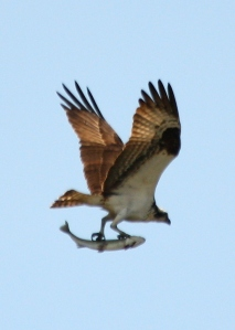Osprey w lunch 1