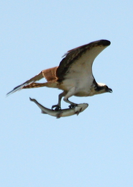 Osprey with lunch 2