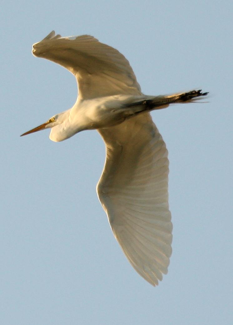 Fruitvale Bridge egret in flight