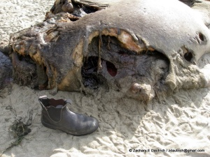 apparent shark bite on female elephant seal / Pt Reyes National Seashore Jan 2012