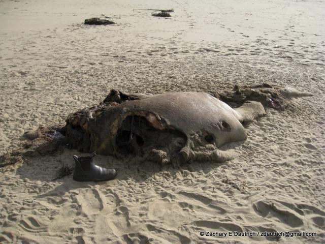 deceased female elephant seal / Pt Reyes National Seashore Jan 2012