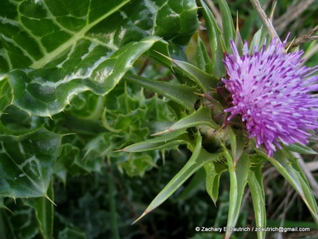 milk thistle bloom / Pt Reyes National Seashore Jan 2012