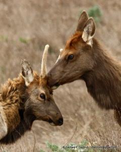 female grooming young male elk / Pt Reyes National Seashore Oct 2011