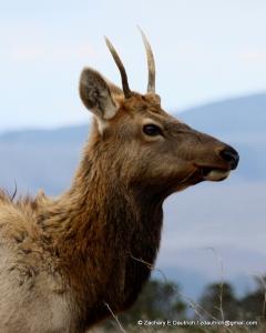juvenile male elk / Pt Reyes National Seashore Oct 2011