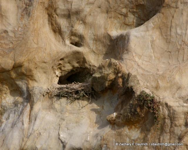 peregrine falcon nest / Pt Reyes National Seashore Jan 2012