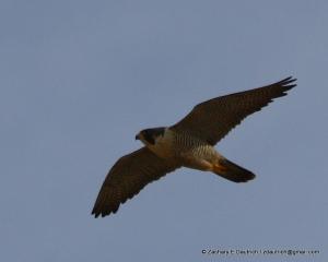 peregrine falcon image 4 / Pt Reyes National Seashore Jan 2012