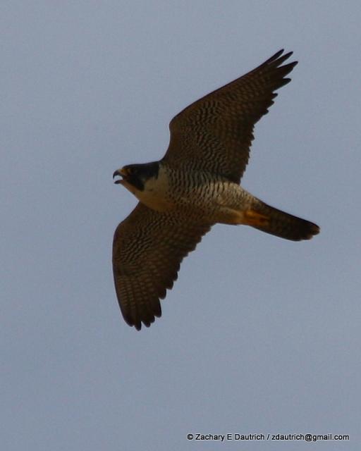 peregrine falcon image 1 / Pt Reyes National Seashore Jan 2012