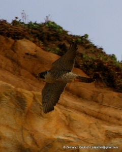 peregrine falcon image 3 / Pt Reyes National Seashore Jan 2012