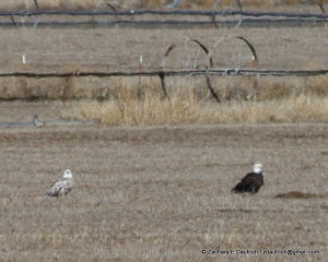 leucistic bald eagle / Klamath County OR / Feb 2012