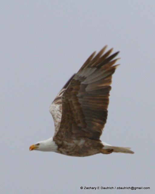 leucistic bald eagle / Klamath County OR / Feb 2012