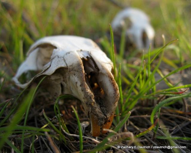 CA ground squirrel skulls / Mount Diablo CA