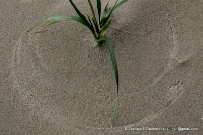 dune grass wind art with coyote track 01 / Point Reyes National Seashore