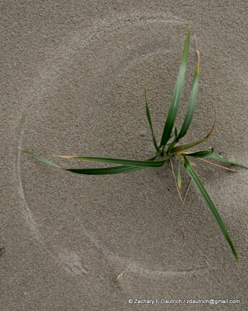 dune grass wind art with coyote track 02 / Point Reyes National Seashore