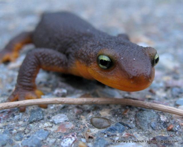 red-bellied newt / Tilden Regional Park CA