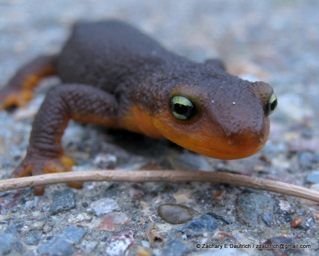 red-bellied newt / Tilden Regional Park CA