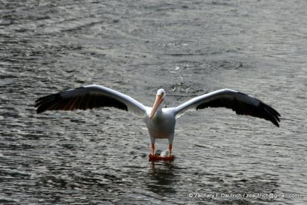 white pelican landing 01 / Lafayette Resevoir CA