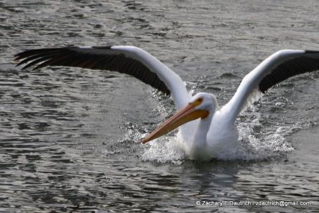 white pelican landing 02 / Lafayette Resevoir CA