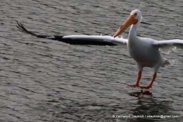 white pelican landing 03 / Lafayette Resevoir CA