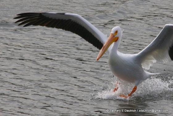 white pelican landing 04 / Lafayette Resevoir CA