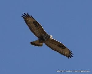 Klamath Basin rough-legged hawk