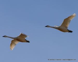 Klamath Basin tundra swans