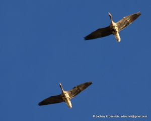 Klamath Basin white-fronted geese
