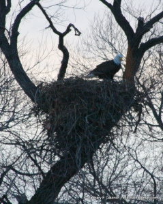 bald eagle in nest Klamath Basin