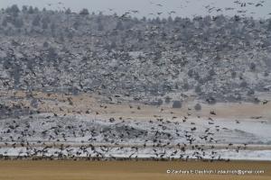 huge flock of geese/swans