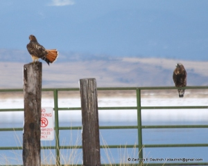 red-tailed hawk shows off the goods to rough-legged hawk Klamath Basin