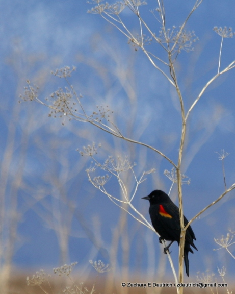 tri-colored black bird Klamath Basin