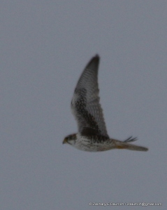 prairie falcon Klamath Basin OR