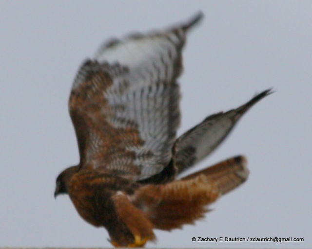 intermediate rufous morph red-tailed hawk Klamath Basin