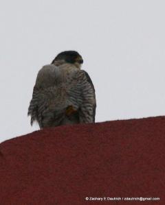 peregrine falcon Klamath Falls, OR