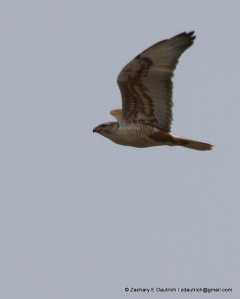 ferruginous hawk Klamath Basin OR