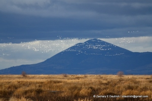 Lower Klamath Basin NWR - flocks of geese/swans