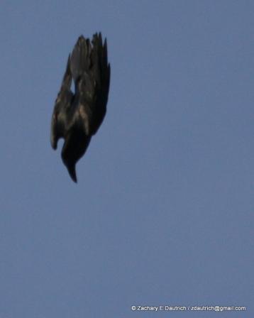 diving raven Klamath Basin