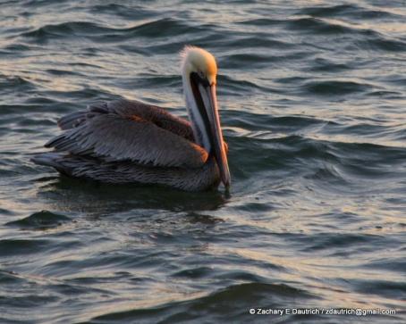 brown pelican 02 / Berkeley CA