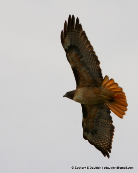 red-tailed hawk / Golden Gate Bridge CA
