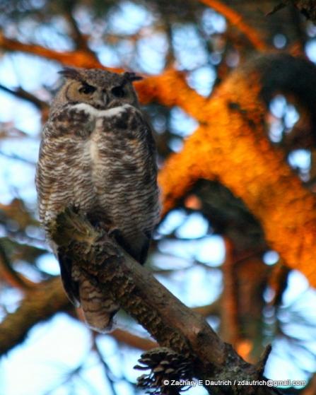 great-horned owl / Tilden Regional Park CA