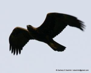 mature golden eagle / Mt Diablo