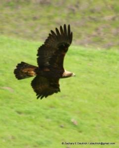 mature golden eagle / Mount Diablo