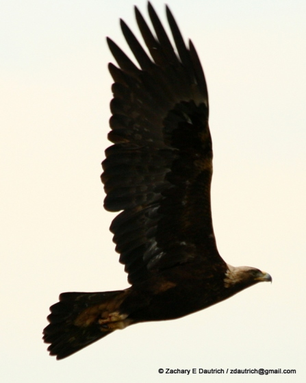 adult golden eagle / Mt Diablo CA