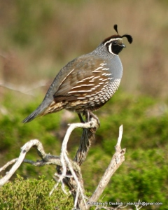 CA quail (male) - Pt Reyes National Seashore