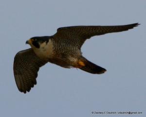 peregrine falcon #1 arrival pic-01