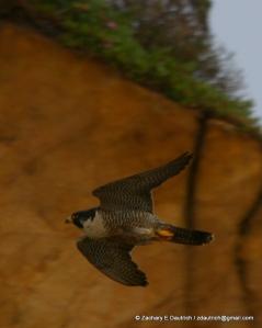 peregrine falcon #1 arrival pic-02