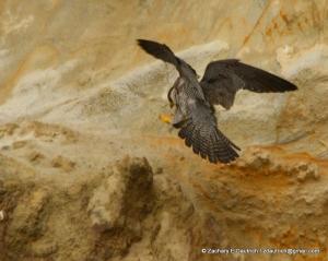 peregrine falcon #1 arrival pic-03