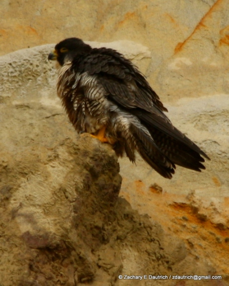 peregrine falcon #1 perched