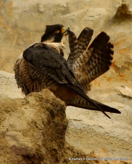 peregrine falcon #1 preening pic-01