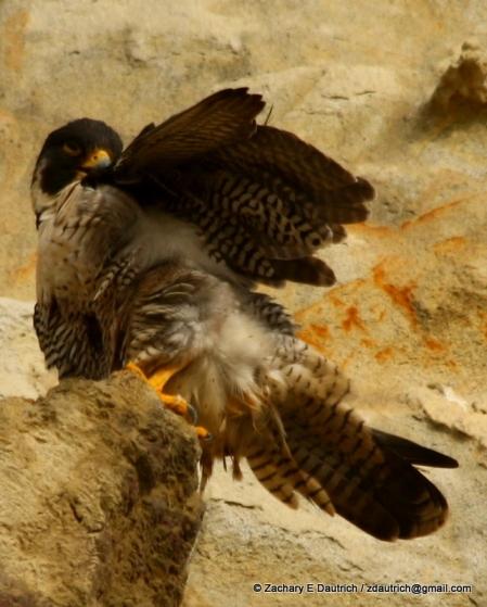 peregrine falcon #1 preening pic-02