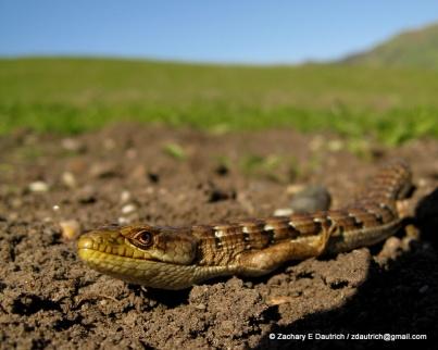 alligator lizard 01 / Mt Diablo CA